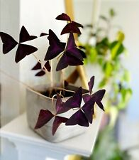 Live Plant Oxalis Triangularis (Purple Shamrock / Love Plant) (indoor/outdoor)