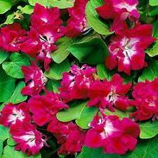 Ipomea 'Sunrise Serenade' 5 Seeds - Fully double, ruby-rose colours