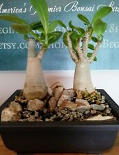 Bonsai Tree (3 year old Indoor Desert Rose Bonsai Forest)