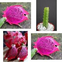 "Dragon Fruit PURPLE FLESH Pitaya Exotic Tropical Cacti Edible Good Eat Plant 4"""
