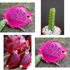 Dragon Fruit Purple Flesh Pitaya Exotic Tropical Cacti Edible Good Eat Plant 4""