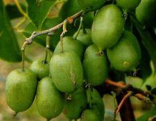 Hardy & Self-Polinating KIWI FRUIT Plant - 'Issai' Actinidia arguta