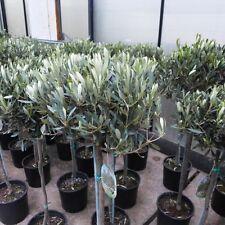 Olivenbaum ca. 100 - 120 cm Olea Olive winterhart immergrün Oliven