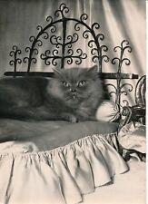 Photo Presse c. 1954 - Octavio Le Roi des Chats Persan Bleu - PR 1344