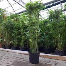 bambus pflanzen g nstig kaufen ebay. Black Bedroom Furniture Sets. Home Design Ideas