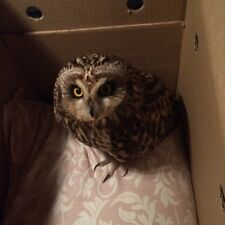 *** RARE ''LITTLE OWL'  SAVED FROM PERIL,PLEASE READ OUR STORY** ANIMAL CHARITY*