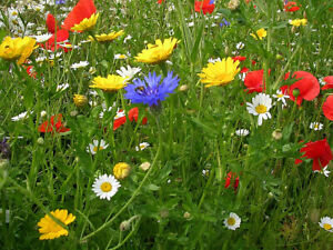 5 Sq metres. Cornfield Annual Wildflower seeds. UK Native seed with no grasses.