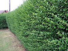 15 Green Privet Hedging Plants Ligustrum Hedge 40-60cm,Dense Evergreen,Big Pots