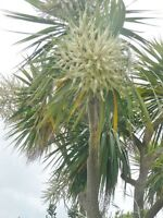 CORDYLINE AUSTRALIS- NEW ZEALAND  PALM 25 SEEDS- CHEAPEST & BEST