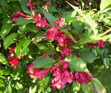 Weigela 'Red Prince' Weigela florida,Bush/Shrub, 6 UnRooted Cutting's