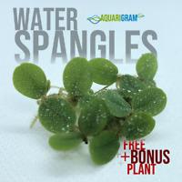 50+ Leaf Water Spangles (+FREE BONUS PLANT) Salvinia Minima Floating Plant