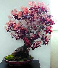 Smoke Tree Bush - Cotinus coggygria - 30 seeds BONSAI - SOW ALL YEAR