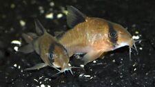 10 (ten) x Corydoras metae (Bandit Catfish)