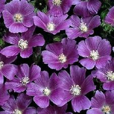 20+ Anoda Cristata Marvelous Coloring / Annual Flower Seeds