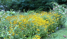 Wild Blackeyed Susan Flowers Bulk Seed Pack of over 200 Seeds ~ Easy to Grow!