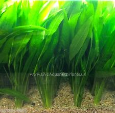 Amazon Sword Plant Bunch Echinodorus Bleheri Live Aquarium Plants BUY2GET1FREE*