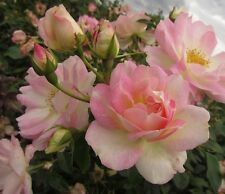PINK CHAMPAGNE - 5.5lt Potted Climbing Garden Rose - Pale Pink - Repeat Flowers