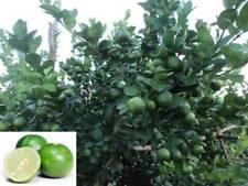 100% GENUINE Thai Tropical Key Lime 15 Seeds Citrus Aurantifolia Fresh.