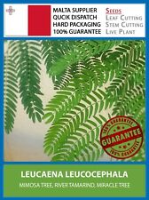 [30 SEEDS] River Tamarind / Miracle Tree Mimosa - Leucaena Leucocephala Plant