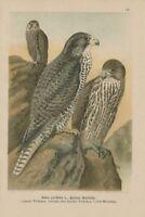 Kleiner GERFALKE Falco gyrfalco Vogel  LITHOGRAPHIE 1899 Falcon Falken Falk