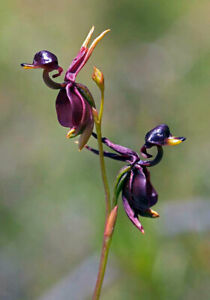 50pcs Flying Duck Orchid (Caleana Major) Flower Seeds Plant Seed