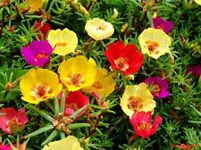 Flower Seeds Portulaca grandiflora large bloom Ukraine