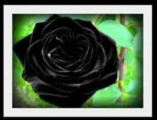 Rare Blackish/red Climbing Rose! 15 Seeds! Comb. S/H! See Our Store!