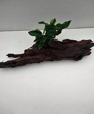Anubias Nana auf einem Baumstamm Wasserpflanzen Aquaristik  Wurzel Deko