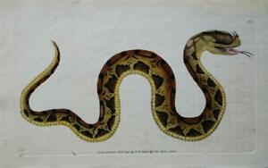 HORN NOSED SNAKE - RARE 1792 HAND COLOURED ANTIQUE ENGRAVING BY SHAW & NODDER