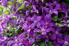 3 Clematis Vine Viticella 'Polish Spirit' Plug Plant Climbing Flowering Shrub