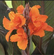 6 Orange Canna Lily Bulbs. (6 Bulbos de coyoles anaranjados)
