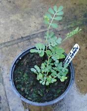 """Coronilla valentina subsp. glauca """"LAUREN STEVENSON""""- Coastal Plant 1 litre pot"""