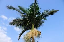 Roystonea regia Royal Palm Seeds = Tropical Plant Seed Gardening