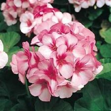 15 Film Coated Maverick Star Geranium Seeds