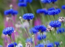 Tall Blue Cornflower - 50 Seeds! Beautiful Bright Color! Comb. S/H See Our Store