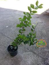 Barbados Cherry, Acerola, Malpighia emarginata grafted tree by Prorganics