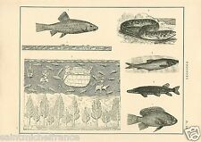 Fish Poisson Nil Murène Barbus Brochet Moray Bearded Pike GRAVURE OLD PRINT 1884