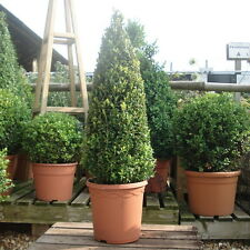 Buxus Box Plant 60cm Cone