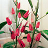 20 Seed Pavonia Flowers Rare Kinds Beautiful Bonsai Potted Plants in Home Garden