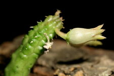 1 TALEA Echidnopsis insularis SOCOTRA stapelia orbea huernia RARE no ariocarpus