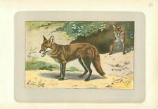 Renard Roux Vulpes vulpes Red Fox PLANCHE ANTIQUE PRINT 1907