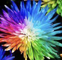 250 Rare Rainbow Chrysanthemum Seeds Flowers Bright Plants US SELLER Bonsai
