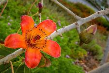 der schöne Kapokbaum hat wunderschöne, große, rot-orange Blüten !