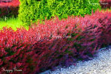 Red Barberry-Berberis Thunbergii Atropurpurea - - 60 semi-OTTIMO PER BONSAI