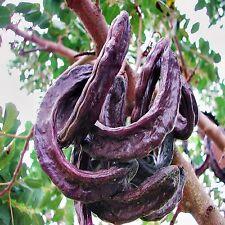 CAROB TREE SEEDS CERATONIA SILIQUA CHOCOLATE ALTERNATIVE FLOWERING TREE 40 SEEDS