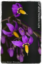 Solanum dulcamara 'Bittersweet' [Ex. Co. Durham] 100+ SEEDS