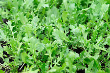 1500 SEEDS OF ROCKET WILD DISCOVERY Plants Herbs Aromatic