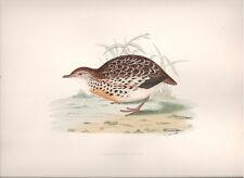 1855 Bird original print Andalusian Quail Beverley R. Morris
