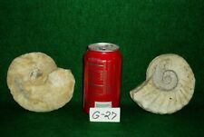 Two Different Rare Texas Fossil Ammonites ,Dinosaur Age, Cretaceous-G27