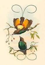 John Gould Reproductions: Magnificent Bird of Paradise - Fine Art Print